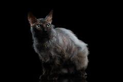 查寻在黑背景的毛茸的Sphynx猫 免版税库存图片