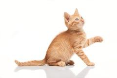 查寻嬉戏的红色的小猫,设法捉住某事 免版税库存图片