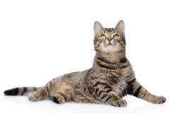 查寻灰色的虎斑猫 背景查出的白色 免版税库存图片