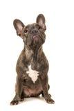 查寻牛头犬的法语 免版税库存图片