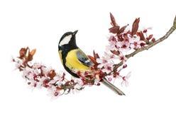 查寻男性伟大的山雀,栖息在一个开花的分支 免版税库存图片
