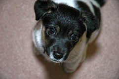 查寻黑白杰克罗素狗的狗 库存照片