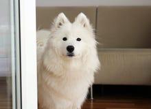 查寻白萨莫耶特人小狗的女性 免版税库存照片