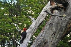 查寻的啄木鸟 免版税库存图片
