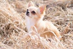 查寻的奇瓦瓦狗,选址和等待 被采取的室外在nat 免版税库存照片