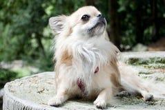 查寻的奇瓦瓦狗 免版税库存照片