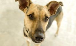 查寻的狗好奇 免版税图库摄影
