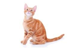 查寻的猫 库存照片
