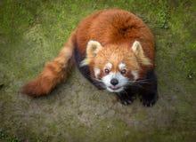 查寻的红熊猫 免版税库存图片