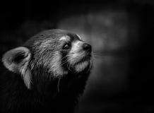 查寻的红熊猫 库存图片