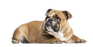 查寻英国的牛头犬说谎和, 11个月 免版税库存图片