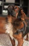 查寻逗人喜爱的狗 图库摄影