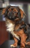 查寻逗人喜爱的狗 免版税图库摄影