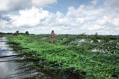 柬埔寨收割siem妇女 库存照片