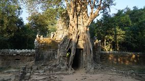 柬埔寨暹粒树 免版税库存照片