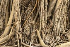 柬埔寨榕属根源结构树 免版税库存图片