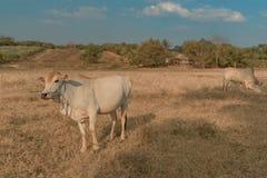 柬埔寨母牛在牧场地, Banlung省吃草 聚会所 库存照片