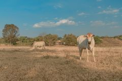 柬埔寨母牛在牧场地, Banlung省吃草 聚会所 免版税库存照片