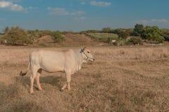 柬埔寨母牛在牧场地, Banlung省吃草 聚会所 免版税图库摄影