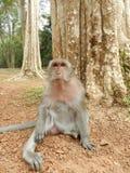 柬埔寨短尾猿猴子 免版税库存照片