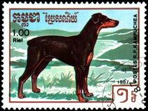 柬埔寨-大约1987年:邮票,打印在柬埔寨,显示一条Dobermann短毛猎犬狗,系列养殖狗 库存图片
