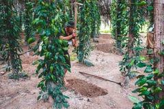 柬埔寨Kampot胡椒种植园亚洲东南部 库存图片