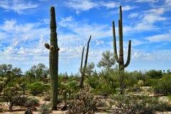 柱仙人掌仙人掌仙影拳giganteus地面蛇沙漠 图库摄影