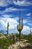 柱仙人掌仙人掌仙影拳giganteus地面蛇沙漠 免版税库存图片