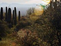柱仙人掌仙人掌在有山的沙漠 库存照片