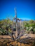 柱仙人掌仙人掌的木质的骨骼在巨人柱国家公园,亚利桑那 免版税库存照片