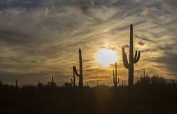 柱仙人掌阴影和西南沙漠的充满活力的黄色日落天空 免版税库存照片