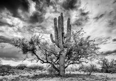 柱仙人掌和豆科灌木护士树 图库摄影