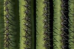 柱仙人掌脊椎,萨格鲁国家公园 免版税库存图片
