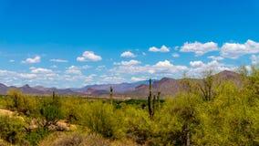 柱仙人掌仙人掌在亚利桑那沙漠 库存照片