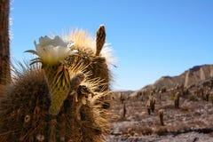 柱仙人掌仙人掌花在沙漠 库存照片