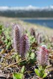 柳属arctica (北极杨柳) 免版税库存图片