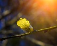 柳属caprea 黄花柳在春天 免版税图库摄影