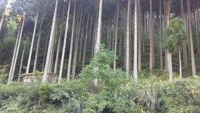柳杉森林  免版税库存图片