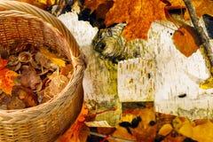 柳条筐用站立在五颜六色的枫叶的收集的秋天蘑菇 库存照片
