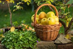 柳条筐用黄色苹果 库存图片