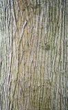 柳树吠声 免版税库存图片