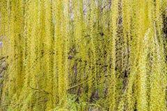 柳树树梢开花 库存照片