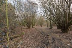 柳树森林在冬天结束时 库存照片