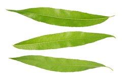 柳树的绿色春天叶子 查出 免版税库存照片