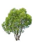 柳树 免版税库存照片