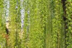 柳树 库存照片