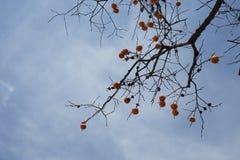 柿子和天空在秋天 库存照片
