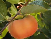 柿子成熟结构树 免版税库存图片