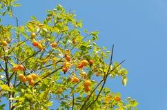 柿子果子是成熟的 图库摄影