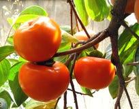 柿子 免版税图库摄影